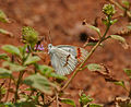 Crimson Tip (Colotis danae)- Male at Hyderabad, AP W 240.jpg