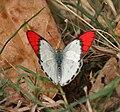 Crimson Tip (Colotis danae)- Male at Hyderabad, AP W IMG 7486.jpg