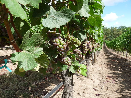 Oregon Pinot Noir early veraison by Ethan Prater
