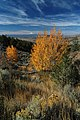 Crooked River National Grassland Fall color aspen (36456345221).jpg