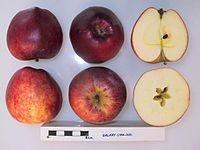 Cross section of Galaxy, National Fruit Collection (acc. 1994-009).jpg