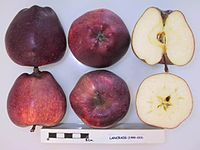 Cross section of Lancraig, National Fruit Collection (acc. 1999-023).jpg