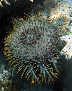 Spiny coral-eating tropical starfish.