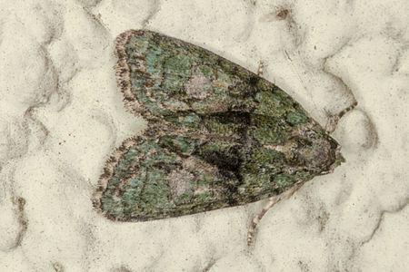 Cryphia algae, Lodz(Poland)01(js).jpg