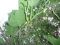 """Cucurbita argyrosperma """"calabaza rayada o cordobesa"""" (Florensa) flor femenina F02 antesis ovario con bandas tallo anguloso con bandas longitudinales.JPG"""