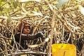 Cueilleuse traditionnelle d'Huîtres de mangrove, Sine Saloum, femme du village de Soucouta, Sénégal.jpg