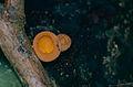 Cup Fungi (Cookeina sp.) (14241920791).jpg