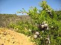 Cupressus forbesii at Coal Canyon-Sierra Peak, Orange County - Flickr - theforestprimeval (12).jpg