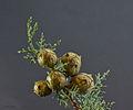 Cupressus glabra 'Glauca' - blaue Zypresse - 02.jpg