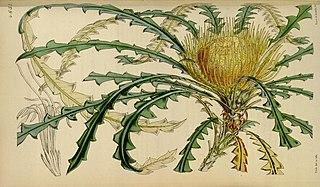 <i>Banksia nobilis</i> Species of shrub in the genus Banksia