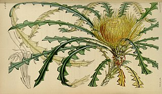 <i>Banksia nobilis</i> species of plant