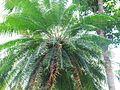 Cycas circinalis-ഈന്ത്.JPG