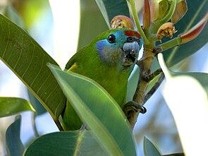 Maskenzwergpapagei, Weibchen