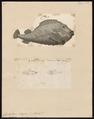 Cyclopterus lumpus - 1700-1880 - Print - Iconographia Zoologica - Special Collections University of Amsterdam - UBA01 IZ13600155.tif
