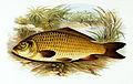 Cyprinus carpio 1879.jpg