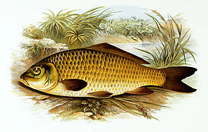 Common carp - Common carp by Alexander Francis Lydon.