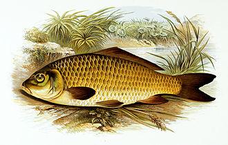 Common carp - Common carp by Alexander Francis Lydon.