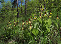 Cypripedium calceolus 02 mg-k.jpg