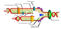 DNA replication en.svg
