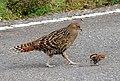 DSC08464母雉的保護與教育.jpg