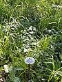 Dactylis polygama - Botanical Garden, University of Frankfurt - DSC02422.JPG