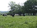 Dairy pasture near East Bloxworth - geograph.org.uk - 460647.jpg