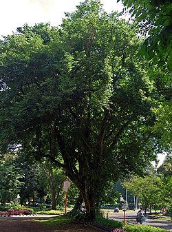 Pohon sonokeling, Dalbergia latifoliaDarmaga, Bogor