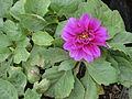 Dalia flower.JPG