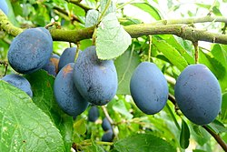 Damson plum fruit.jpg