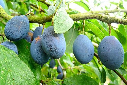 damson plum fruitjpg