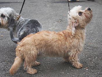 English: The female - Dandie Dinmont Terrier d...
