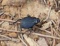 Darkling Beetle. Pimelia species. Tenebrionidae (2) (32139722910).jpg