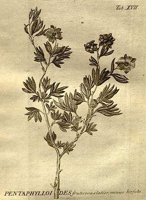 Johann Amman - Dasiphora fruticosa (L.) Rydb.'''  Shrubby Cinquefoil Stirpium Rariorum