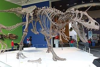 Daspletosaurus - Cast skeleton mount of D. torosus on display at the Science Center of Iowa.