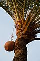 Date Palm Sap Collection - Taki - North 24 Parganas 2015-01-13 4806.JPG