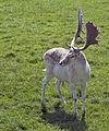 Deer (6219700070).jpg