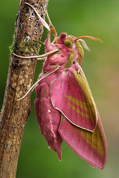 Image: Deilephila elpenor 06.JPG