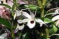 Dendrobium nobile 4zz.jpg