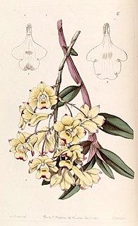 <i>Dendrobium sanguinolentum</i> Species of orchid