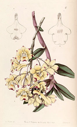 Dendrobium sanguinolentum - Edwards vol 29 (NS 6) pl 6 (1843).jpg