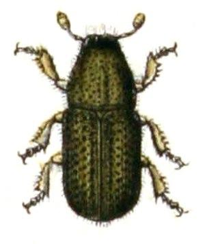 Dendroctonus - D. micans