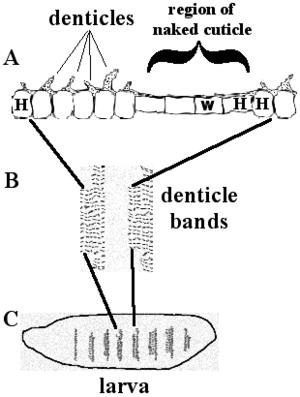 Drosophila embryogenesis - Image: Denticle Xsection