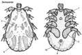 Dermacentor-male-dorsal-ventral.png