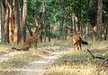 Dhole Kanha2.jpg