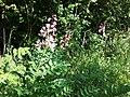 Dictamnus albus sl40.jpg