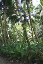 Diego Garcia Cocos Forest