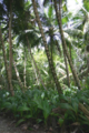 Diego Garcia Cocos Forest.png