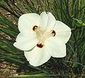 Dietes bicolor. Iridaceae - Flickr - gailhampshire.jpg