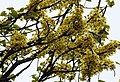 Dillenia pentagyna flowering by Dr. Raju Kasambe DSCN1362 (28).jpg