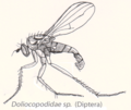 Dip-Doliocopodidae-sp.png